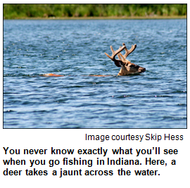 Deer swimming. Image courtesy Skip Hess.